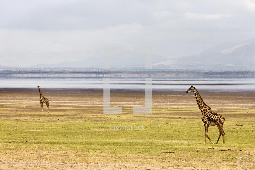 Two giraffes roam the wilderness