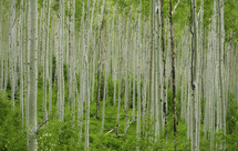 thin tree trunks in a forest