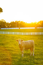 a cow in a pasture
