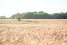 a bare tree in a field of wheat
