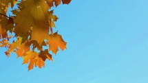 fall leaves blowing in the breeze against a blue sky