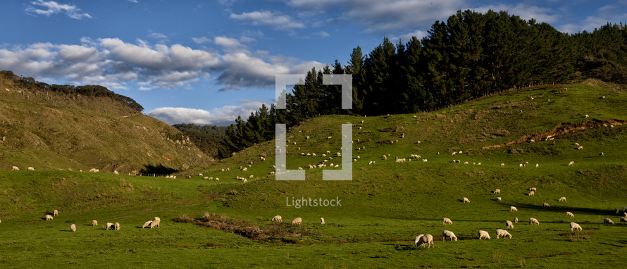 Sheep graze on green grassy hills under the blue sky and clouds with sun light shining on them in this landscape.
