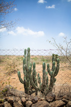 cactus behind a chain link fence