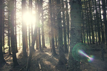 sunburst through tree trunks in a forest