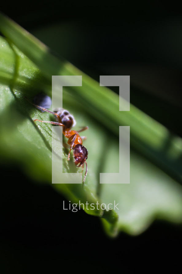 An ant on a green leaf