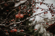 branches with berries and snow