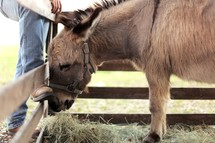 Man in boots with donkey in fenced corral.