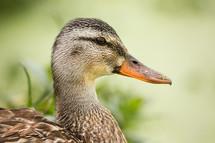 mamma duck