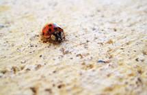 closeup of ladybug on a sidewalk