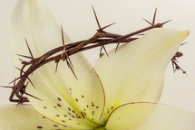 crown of thorns on an Easter lily