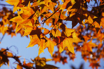 autumn maple leaves on a tree branch. Orange, Yellow, fall.