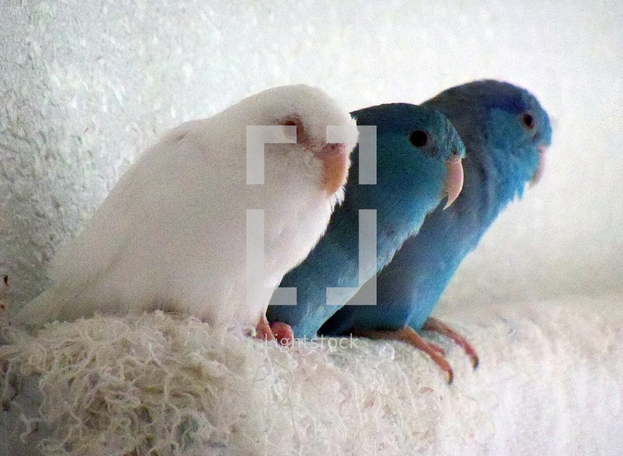 A trio of three Pacific Parrotlet Birds sit together on a towel for warmth, companionship and friendship huddling together. A three strung chord is not easily broken as these good friends illustrate. One Bird is an albino, completely white while his two friends are traditional blue in color and feathers, showing that even nature can overcome differences where albino birds would be rejected by the flock in the wild, here in captivity they are treated as family and friend accepted, loved and protected.