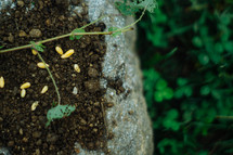 seeds in soil