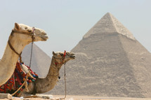 pyramids in Egypt and resting camels