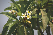flowering tropical plant