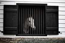 A white horse looking out through the window of a barn