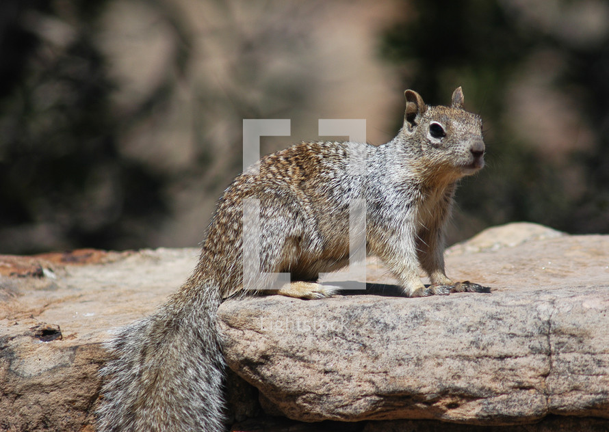 A squirrel on a rock.  Animal, nature