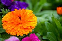 Orange wildflower with waterdrops