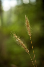 a close up of wheat