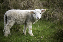 a lamb standing alone in grass