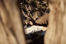 An antlered deer being viewed between two trees