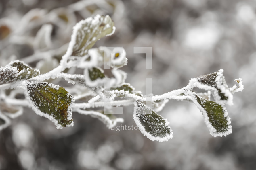Ice and snow covering tree branch