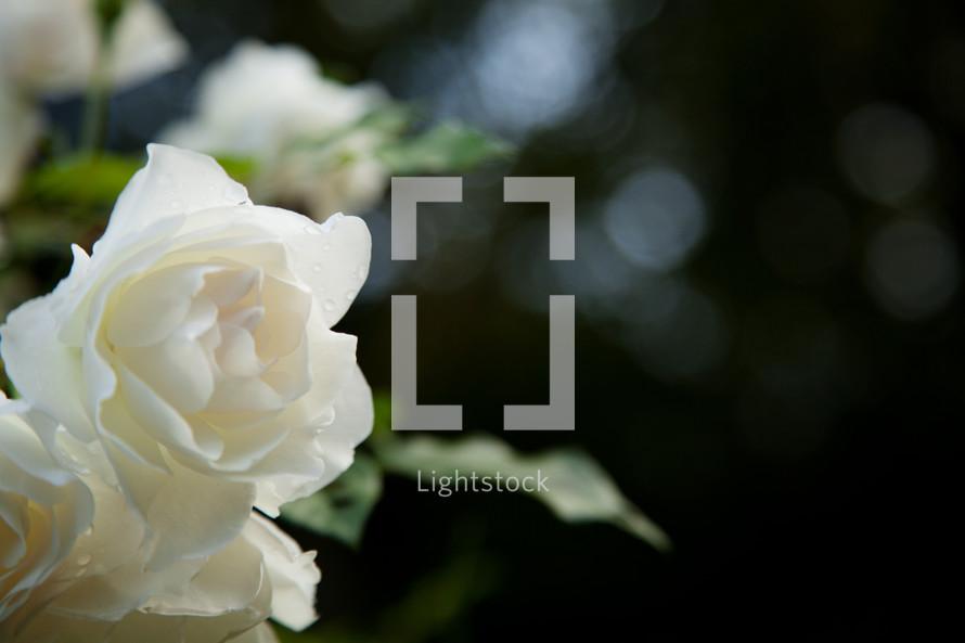 white blooming rose