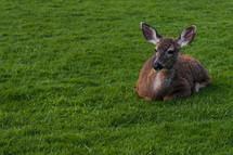 A deer sitting in green grass