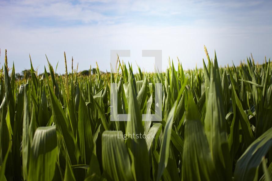 A close up of a corn field