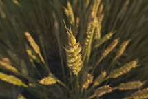 Wheat grains close up.