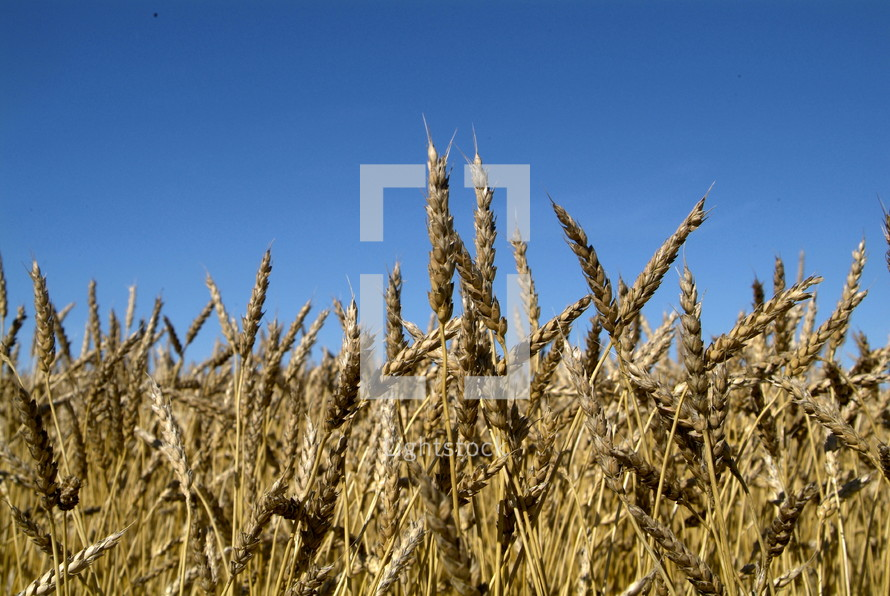 Dry wheat in an open field ready for harvest