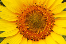yellow sunflower closeup