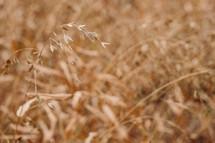 Dried sea oats