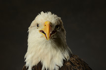 head of a bald eagle