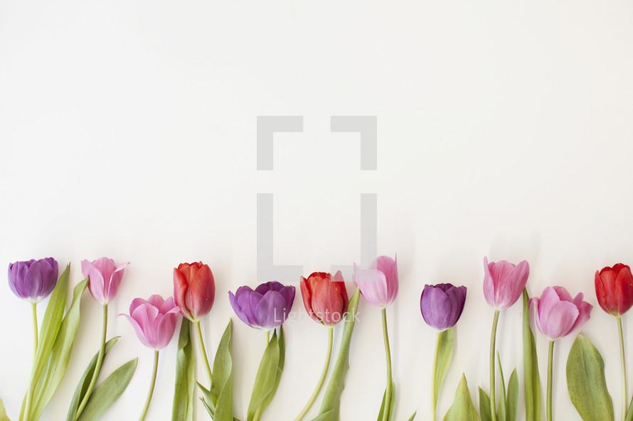 colorful tulips on a white background.