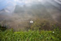 sunlight shining on a dandelion in grass