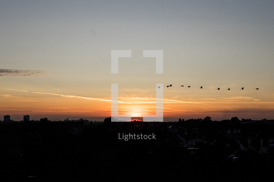 flock of geese flying over a city at sunset