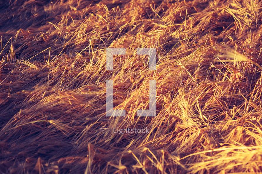 flattened wheat