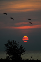 geese in flight at sunset