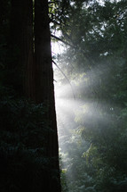 rays of sunlight through a forest