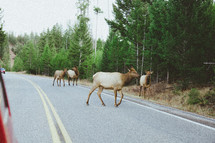 caribou crossing a road
