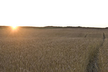 Sunrise over wheat field at harvest time