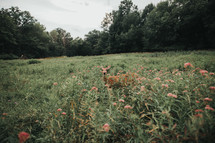 a deer in a meadow