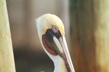 Stork with blue eyes