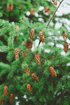 pine cones on branches