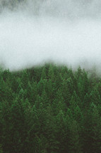 fog over a pine forest