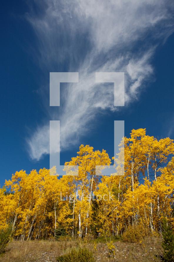 wispy cloud in a blue sky over autumn poplar trees