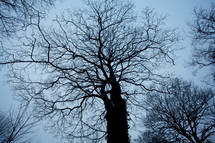 Tall winter trees with barren branches