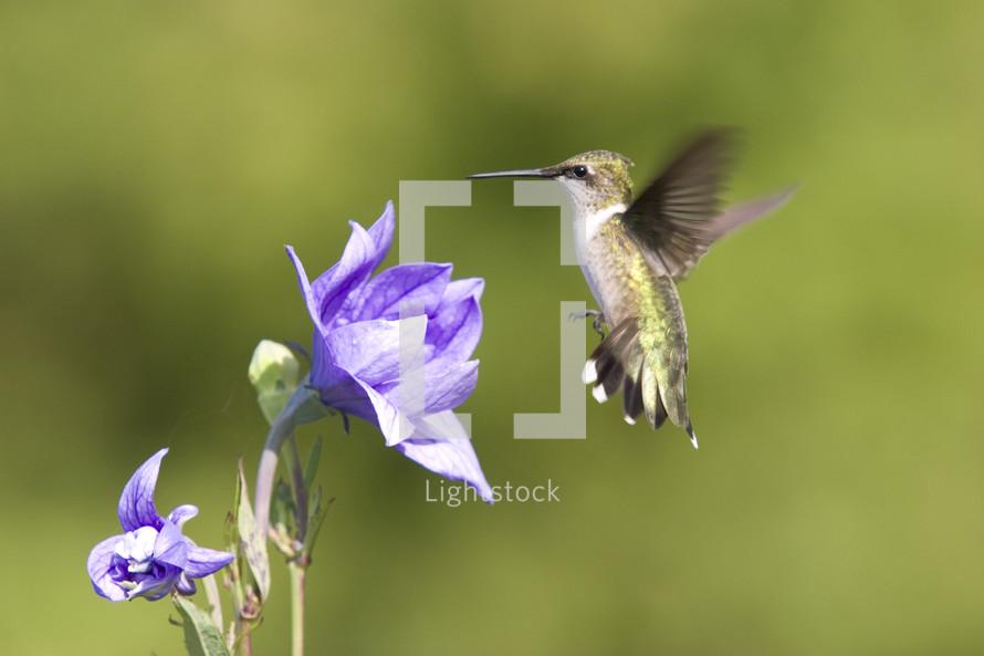 humming bird approaching a flower