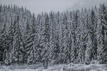 Snowfall on a forest of fir trees.